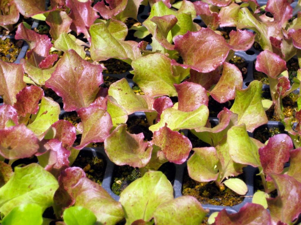Salad Dressings Early Morning Farm CSA