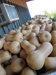 part of the 2012 butternut squash haul!