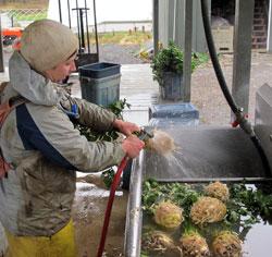 washing celeriac for the CSA