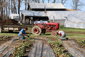 Weeding the rhubarb patch in the spring.
