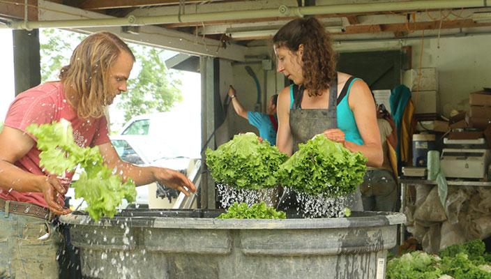 CSA Lettuce Washing