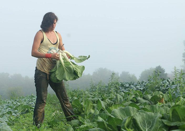 Bok-Choy-Harvest
